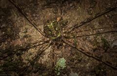 Neopantopsalis sp. (dustaway) Tags: tamborinemountain mounttamborine sequeensland queensland australia arachnida opiliones monoscutidae neopantopsalis harvestman