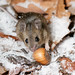 Wood Mouse with Hazelnut on Snowy Leaves