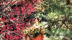 Kyoto Japan plum (gotto510) Tags: kyoto japan plum wonderful women wife love lady lover asian asia alone tits taiwanese taiwan kimono korean korea chinese china milf 40150mm mzded40150mmf28pro