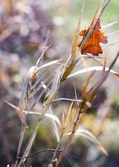 Under the Oak (memories-in-motion) Tags: oak leaf nature color red grass pentax 67 smc 105mm f24 bokeh
