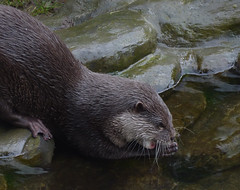 The Asian Small Clawed Otter (Steve Taylor (Photography)) Tags: asiansmallclawedotter eating animal brown green water stream newzealand nz southisland canterbury christchurch texture