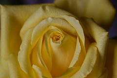 DSC_2783 (PeaTJay) Tags: nikond750 sigma reading lowerearley berkshire macro micro closeups gardens indoors nature flora fauna plants flowers rose roses rosebuds