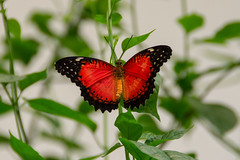 Red Lacewing Butterfly (jenniferlwick.photography) Tags: insect invertebrate animal red lacewing wings delicate soft green leaves plant