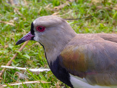 Southern Lapwing (stellagrimsdale) Tags: southernlapwing lapwing bird birdphotography brazil southamerica birding eye feathers grass green red beak nature wildlife