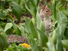 A happy Squirrel in St James's Park London (Dannis van der Heiden) Tags: squirrel nature london buckinghampalacegardens england animal flower nikond750 d750 tamron70210mmf4 spring tulip