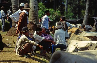 Sumatra, near Bukittinggi, cattle market