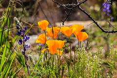Mexican Gold Poppies and Lupine (Buck--Fever) Tags: arizona arizonadesert wildflowers poppies lupine nature earthnaturelife tamron18400lens canon60d apachetrail