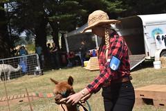 DSC_5106 (VAYG) Tags: vay vytec paraders aaa victorian alpaca association youth australian australia iar 2019 alpacas alpacalypse crystal cove profarma jay hall athena melbourne show redhill red hill