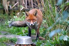 Christmas Dinner is served.....:) (law_keven) Tags: foxcub fox foxes urbanredfoxcub urbanredfox redfox catford london england animals mammals wildlife wildlifephotography photography grass animal