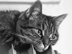 roasted cat (schasa68) Tags: cat haustier pet katze tierfreund tierportrait catphoto katzenfoto schwarzweis blackandwhite sw tierfotografie olympus