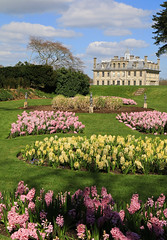 The scent of Hyacinths (myraemery) Tags: hyacynths flowers national trust dorset house plants garden scent grass uk green pink trees bushes building kingstonlacy