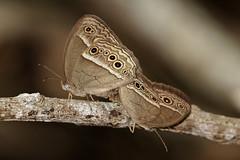 Bushbrown (scubahenlik) Tags: butterfly nymphalidae bushbrown insect thailand kaengkrachan baanmaka nature