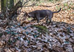 Le masque de Nestor. (Philippe Bélaz) Tags: nestor pragois ratierdeprague animal animaux animauxdecompagnie balades brun chiens chocolat feuilles forêts masque