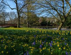 Frühling im Stadtgarten (KaAuenwasser) Tags: frühling stadtgarten osterglocken blumen pflanzen blüten blüte grün park garten anlage beet baum bäume