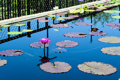 Beauty in a Pond (Moments Captured In Time) Tags: waterlily texas garden beauty color canonrebeleost6 canon adobelightroom pretty flower effects jeanettehuston