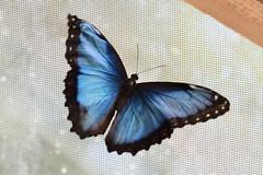 Peleides Blue Morpho Butterfly (Bri_J) Tags: copenhagenbotanicalgarden botaniskhave universityofcopenhagen copenhagen denmark københavn danmark butterflyhouse greenhouse peleidesbluemorpho butterfly blue morphopeleides