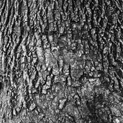 Tree bark (lebre.jaime) Tags: japan 日本 tokyo 東京 shinjukuimperialgarden gyoen 新宿御苑 503cx planar cf2880 film analogic 120 film120 mf mediumformat tree bark abstract blackwhite bw noiretblanc pb pretobranco kodak tp technicalpan 25iso epson v600 affinity affinityphoto