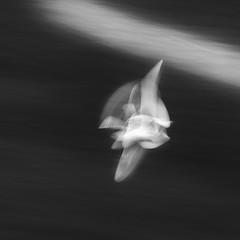Seagull Study 148 (annemcgr) Tags: seagulls gulls birds flying flight motion slowmotion icm monochrome blackwhite