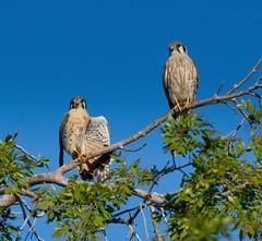 American Kestrel couple. (Wind4ever) Tags: american kestrel bird falcon