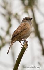 Dunnock (Huddsbirder) Tags: huddsbirder oldmoor dunnock fe70300mm rspb sony a6500