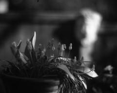 Grape Hyacinths 3 (Vidwatts) Tags: aeroektar speedgraphic fomapan100 d76