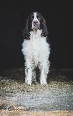 Bellman ❤️ (kaksfotokonto) Tags: dog hund spaniel springer springerspaniel