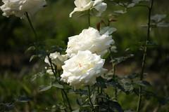 White Rose at Garden (arif.bsl14) Tags: flower flowers rose roseflower blooming bud bloom natural nature macro closup