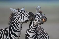 """I love your perfume."" (Kitty Kono) Tags: africa tanzania ngorongorocrater zebras"