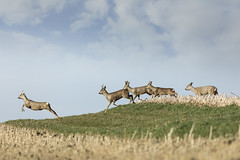 Spring Time (memories-in-motion) Tags: ed rehe rehbock deer canon 100400mm nature outside roebuck animals spring time jump five 5