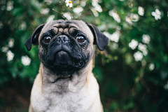Day 1/365 (nataliewinee) Tags: dog pug puppy animals 365 dogs
