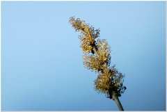 Blooming Ash Tree (MaxUndFriedel) Tags: nature spring april sky blooming flowering tree ashtree twig