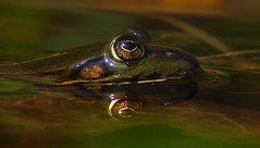 First frog of this spring (na_photographs) Tags: frosch eye auge