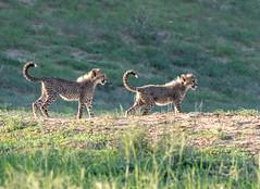 Cheetah cubs in the last light (jaffles) Tags: southafrica südafrika kalahari kgalagaditransfrontierpark ktp olympus safari wildlife cub small cheetah gepard predator raubkatze natur nature