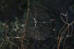 Web of a Trashline Orb Weaver (Cyclosa, Araneidae) spider (Treebeard) Tags: spider web trashlineorbweaver cyclosa araneidae sanmarcospass santabarbaracounty california