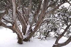 IMG_8683 (patterpix) Tags: grandcanyon arizona snow trees winter canyon storm