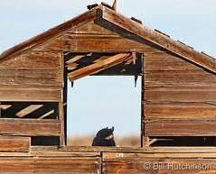 January 7, 2019 - A great horned own hides in a barn in Adams County. (Bill Hutchinson)