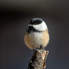 Chickadee-45520.jpg (Mully410 * Images) Tags: bird chickadee birding birdwatching birder birds backyard blackcappedchickadee