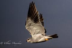 Black-Shlouldered Kite (mayekarulhas) Tags: narok riftvalleyprovince kenya ke blackshouldered kite masaimara canon canon500mm canon1dxmark2 wildlife wild bird africa animals