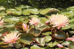 Longwood Gardens Summer 2017 (184) (Framemaker 2014) Tags: longwood gardens kennett square pennsylvania united states america