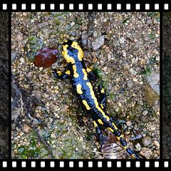 Feuersalamander im Wassergraben // Fire salamander in the moat (marc.jo71) Tags: feuersalamander salamander amphibien