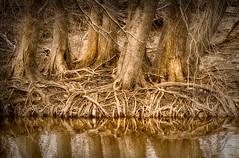 Roots (hightoneguy) Tags: texashillcountry rivers guadaluperiver sepiatone cypress trees