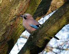 Jay (Garrulus glandarius) (Matt C68) Tags: jay bird nature wildlife tree branch garrulusglandarius