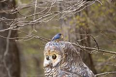 Lunch Time (tripod_treker) Tags: bluebird birds grub stumpcarving