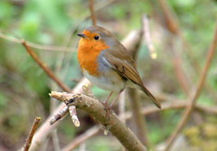 Robin (Tony Worrall) Tags: nature natural outdoors fun seasonal outside birds wild wildlife robin redbreast preston lancs lancashire city welovethenorth nw northwest north update place location uk england visit area attraction open stream tour country item greatbritain britain english british gb capture buy stock sell sale caught photo shoot shot picture captured ilobsterit instragram photosofpreston ashtononribble ashton