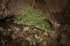 Aeolochroma viridicata (dustaway) Tags: arthropoda insecta lepidoptera geometridae ennominae aeolochromaviridicata geometermoth geometridmoth australianmoths australianinsects tamborinemountain mounttamborine sequeensland queensland australia australianwildlife