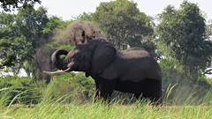 Botswana Elephant dusting himself himself (h0n3yb33z) Tags: botswana animals wildlife elephant okavangodelta africa