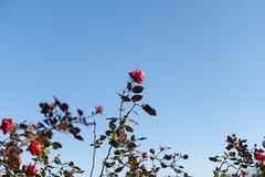 Roses (MSM_K_JP) Tags: sony a6300 zeiss touit planar rose sky park shinjuku tokyo japan shinjukugyoen touit1832