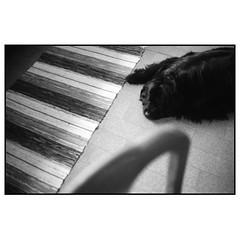 Maja, vy från ett köksbord (MilosHortagaard) Tags: värendsnöbbele sweden dog carpet kitchen floor newfoundland olympusom1 ilfordhp5 400800