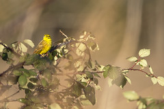 Yellowhammer (Benjamin Joseph Andrew) Tags: bunting bird passerine songbird farmland perching winter scrub one lone single individual