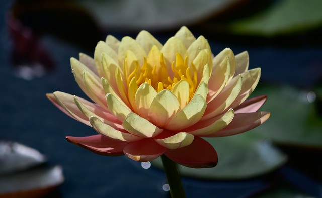 Обои цветок, листья, капли, макро, свет, озеро, пруд, фон, лилия, лепестки, желтая, водяная, боке, нимфея, водяная лилия картинки на рабочий стол, раздел цветы - скачать